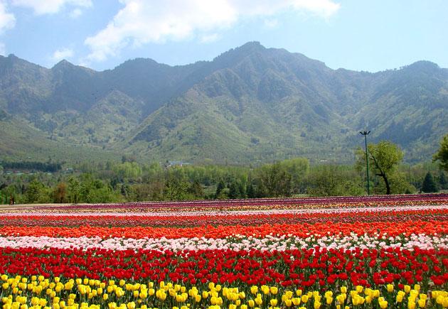 tulip-garden-b